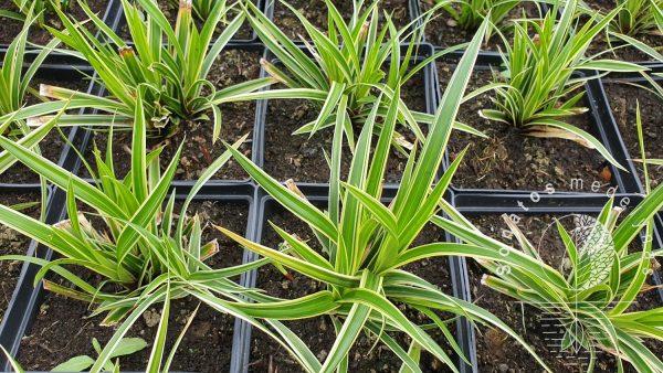 Viksva Carex oshimensis Ice Dance sodinikai