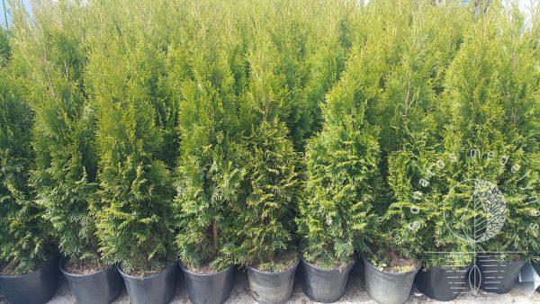 Tuja vakarine Thuja occidentalis Smaragd gyvatvorei sodinukai vazonuose gera kaina