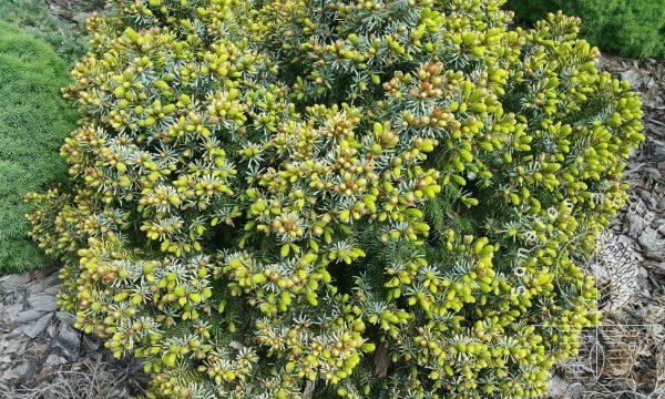 Eglė serbine Picea omorika Peve Tijn