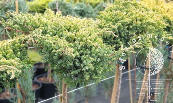 Kadagys gulsčiasis Juniperus procumbens Kishiogima Pa