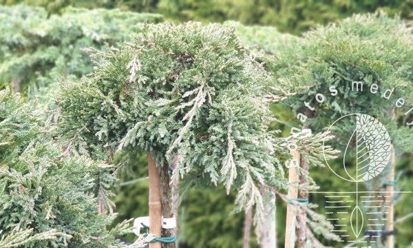 Kadagys padrikasis Juniperus horizontalis Prince of wales Pa
