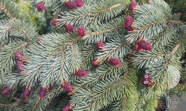 Eglė ajaninė Picea jezoensis var.hondoensis