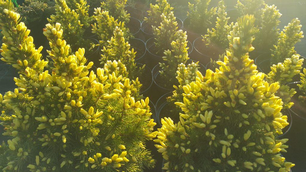 Eglė baltoji Picea glauca Daisy white