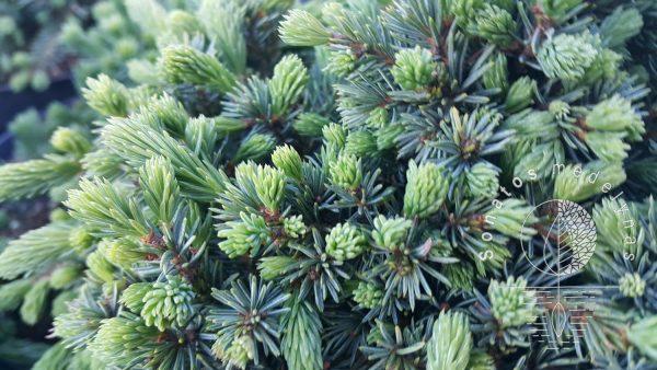 Eglė baltoji Picea glauca Echiniformis