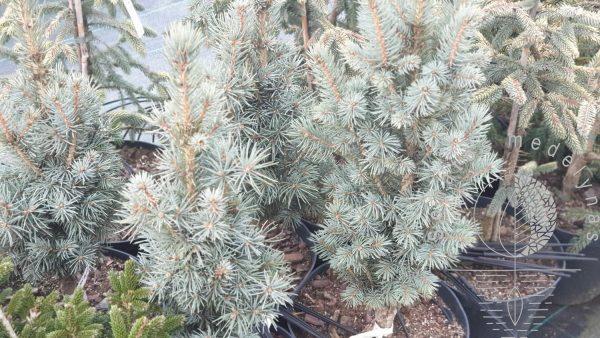 Eglė dygioji Picea pungens Fastigiata SLD 2