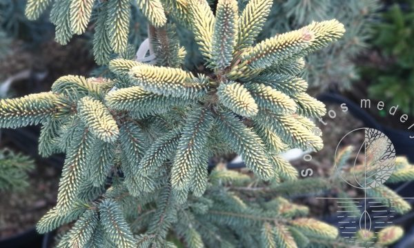 Eglė juodoji Picea mariana Aurea
