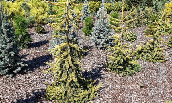Eglė paprastoji Picea abies Gold Drift