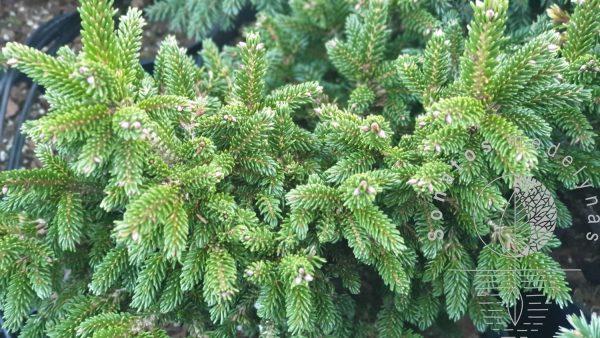 Eglė rytinė Picea orientalis WB