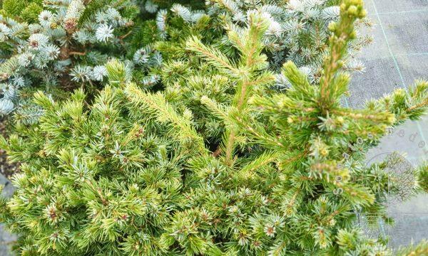 Eglė rytine Picea omorika Wodan vazone