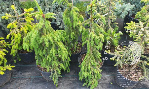 Eglė-serbinė-Picea-omorika-Pendula-Bruns