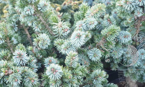 Eglė sitkinė Picea sitchensis Midget