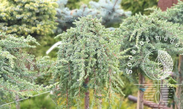 Kadagys padrikasis Juniperus horizontalis Greenmantle Pa