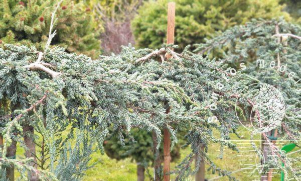Kadagys padrikasis Juniperus horizontalis Zeal Pa