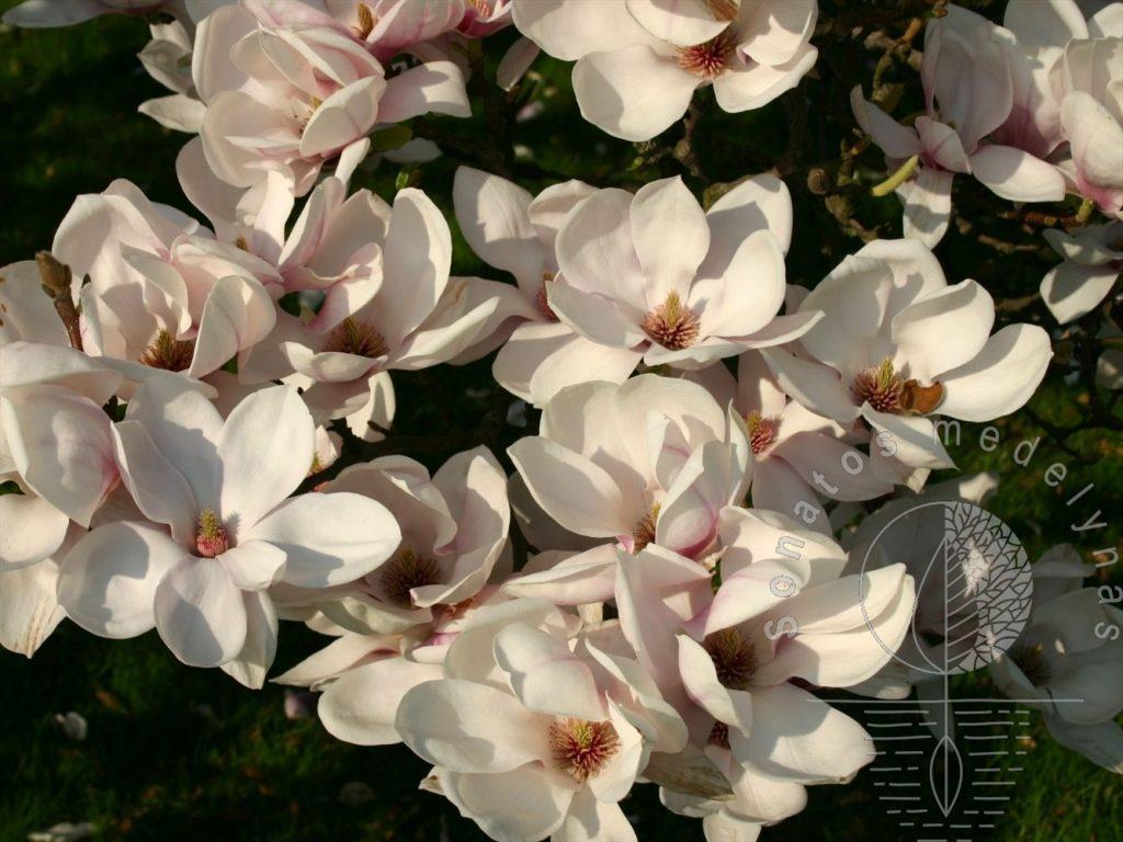 Magnolia soulangeana Alba Superba