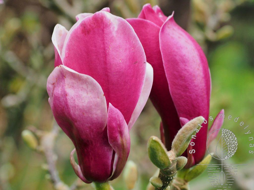 Magnolija Magnolia March till frost