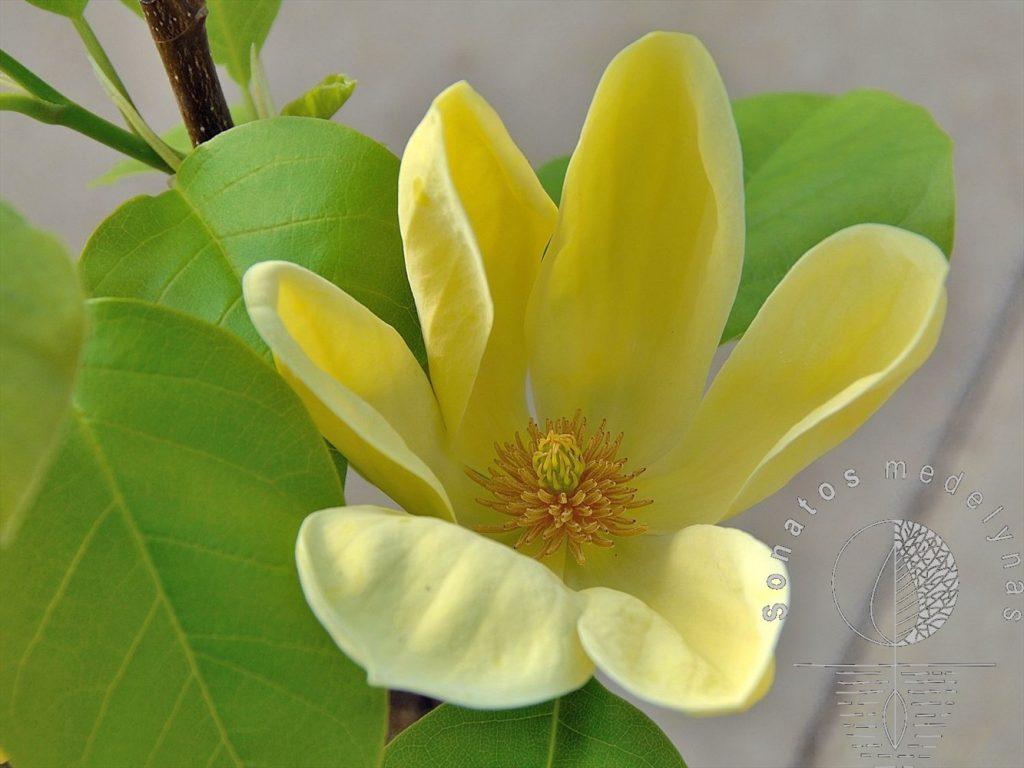 Magnolija Magnolia brooklynensis Yellow Bird
