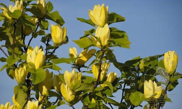 Magnolija zvaigzdinė Magnolia stellata Yellow River