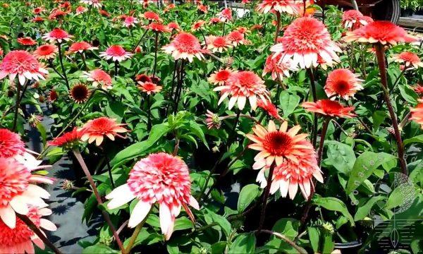 Ežiuolė Echinacea Raspberry Truffle