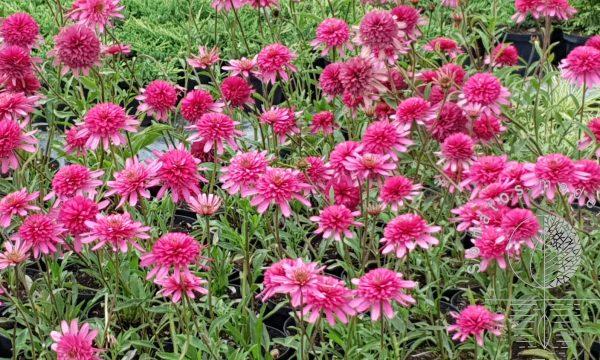 Ežiuolė Echinacea Southern Belle