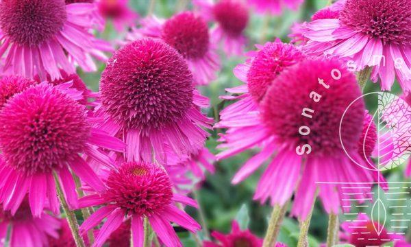 Eziuole Echinacea Delicious Candy