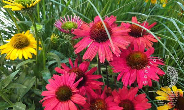 Eziuole Echinacea Kismet Intense Red