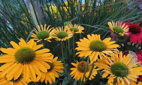 Eziuole Echinacea Kismet Intense Yellow
