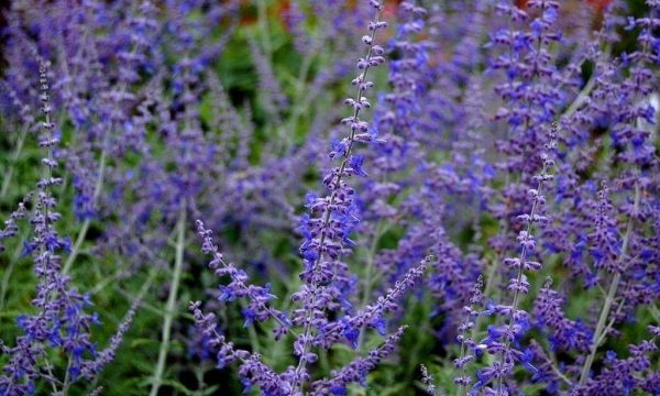 Mėlesas paprastasis Perovskia atriplicifolia Blue Spire