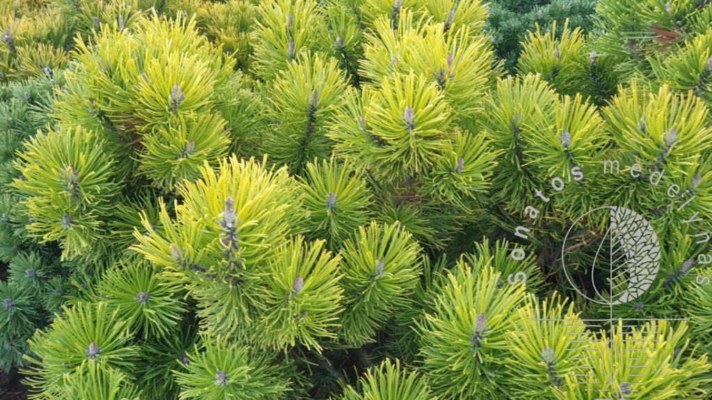 Pušis kalninė Pinus mugo Goldden Glow