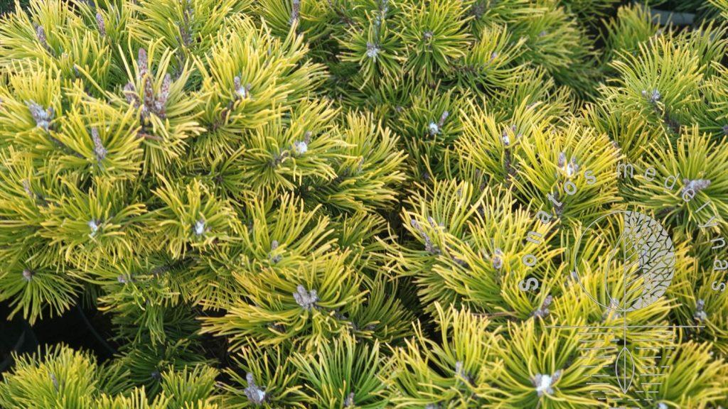 Pušis kalninė Pinus mugo Little Gold Star syn Laarheide