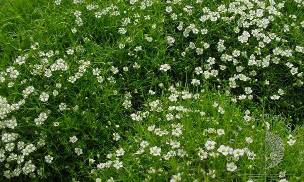 Siūlinė žemenė Sagina subulata Green Moss