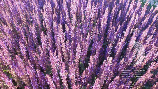 Salavijas-gojinis-Salvia-nemorosa-Deep-Blue-Field