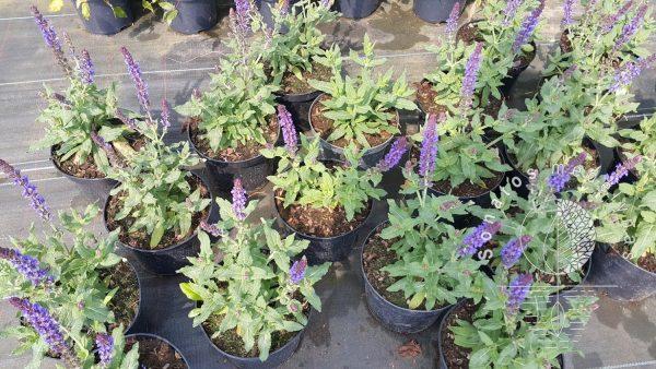 Salavijas gojinis Salvia nemorosa Deep Blue Field