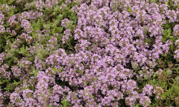 Paprastasis-čiobrelis-Thymus-serphyllum
