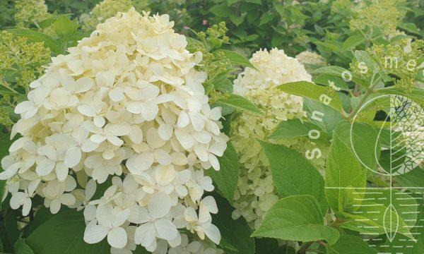 Hortenzija šluotelinė Hydrangea paniculata Limelight