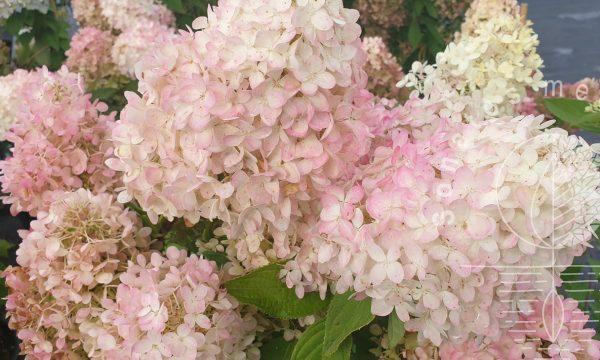 Hortenzija šluotelinė Hydrangea paniculata Magical Sweet Summer