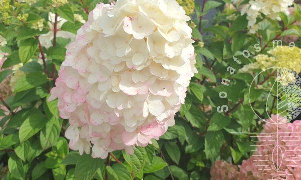 Hortenzija šluotelinė Hydrangea paniculata Sundae Fraise
