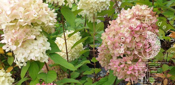 Hortenzija-sluotelinė-Hydrangea-paniculata-Limelight