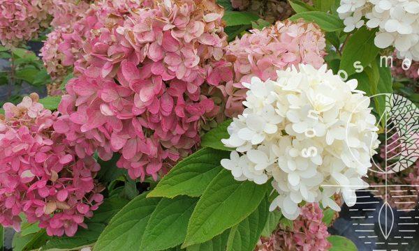 Hortenzija-sluotelinė-Hydrangea-paniculata-Magical-Sweet-Summer-PBR