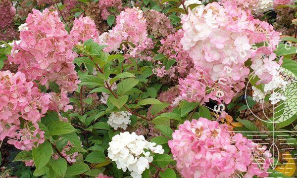 Hortenzija sluotelinė Hydrangea paniculata Sundae Fraise