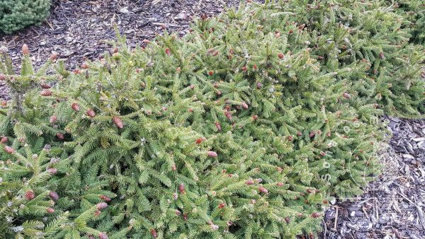 https://sonatosmedelynas.lt/wp-content/uploads/2020/11/Eglė-paprastoji-Picea-abies-Pusch..jpg