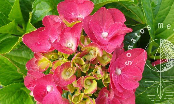 Hortenzija-didžialapė-Hydrangea-macrophylla-Royal-Red