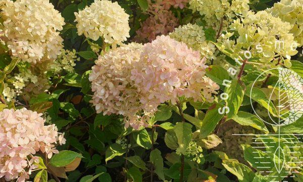 Hortenzija-sluotelinė-Hydrangea-paniculata-Little-Lime