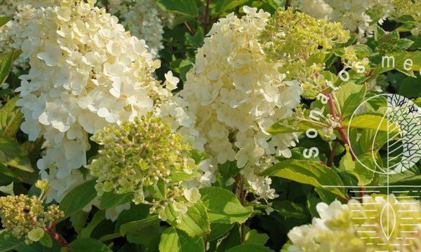 Hortenzija-sluotelinė-Hydrangea-paniculata-Magical-Moonlight-PBR