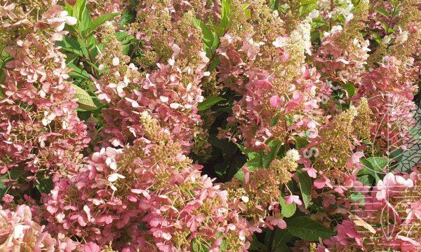 Hortenzija-sluotelinė-Hydrangea-paniculata-Magical-Vesuvio