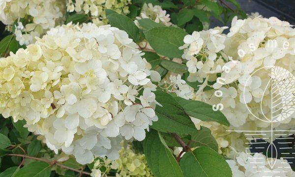 Hortenzija-sluotelinė-Hydrangea-paniculata-Polar-Bear
