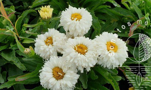 Baltagalvė-Leucanthemum-x-superbum-Macaroon