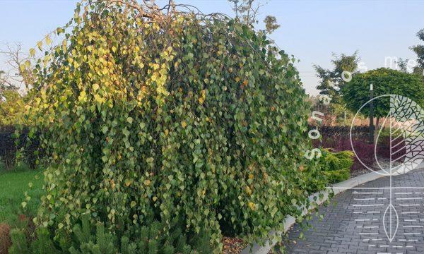 Beržas-karpotasis-Betula-pendula-Youngii.