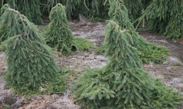 Eglė-paprastoji-Picea-abies-Formanek
