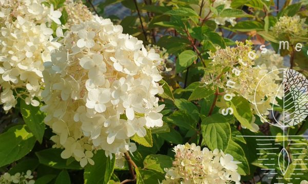 Hortenzija-sluotelinė-Hydrangea-paniculata-Magical-Mont-Blanc-PBR