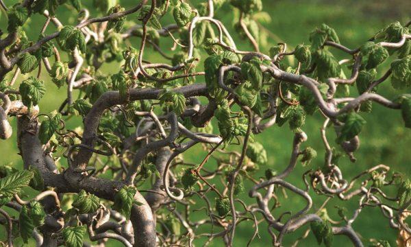Paprastasis-lazdynas-Corylus-avellana-Contorta